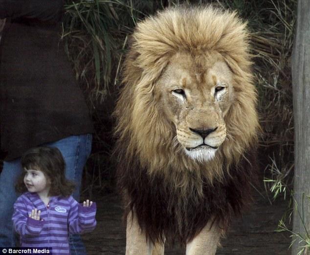 lioncage3