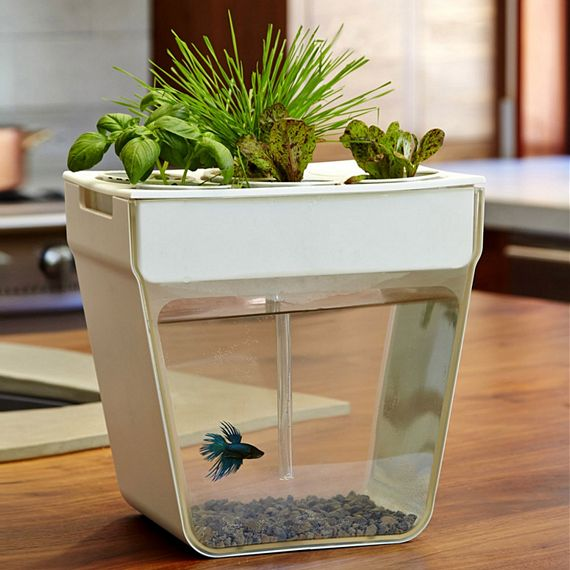 Aquaponics Fish Garden Combines Aquarium And Herb Garden