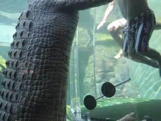 crocodile_swimming