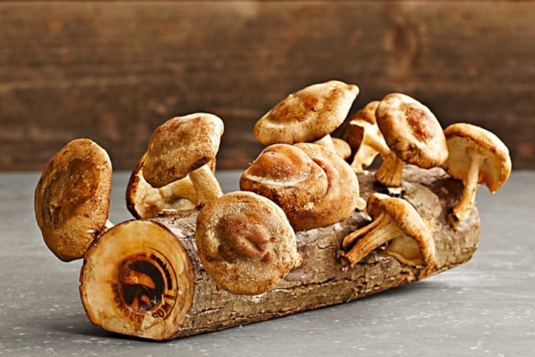 shiitake-mushroom-log-1