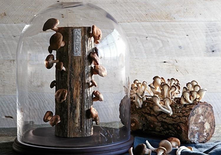 shiitake-mushroom-log-3